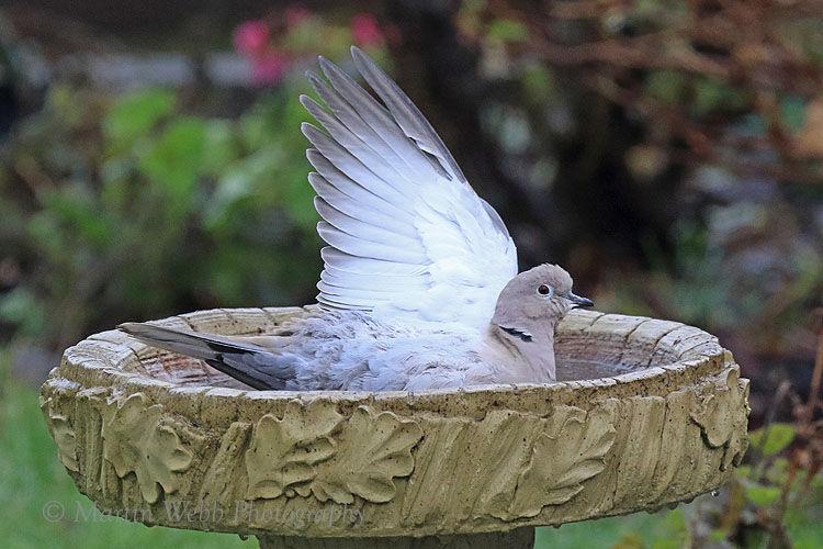 51619AC Collared Dove
