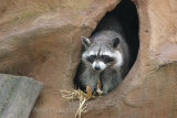 5473 Raccoon