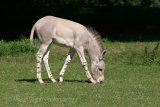 6001 Somali Wild Ass foal