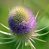 Flowering teasel