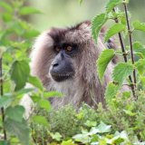 lion tailed macaques