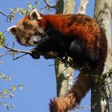 red panda up a tree