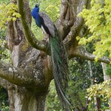 Peacock up a tree