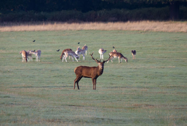Buck 1, Richmond Park