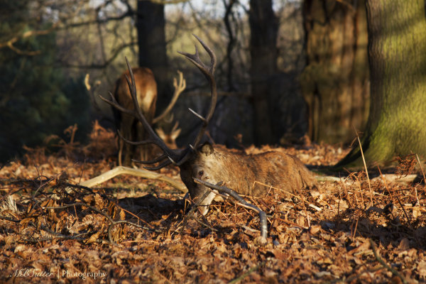 Sitting Buck, Richmond Park