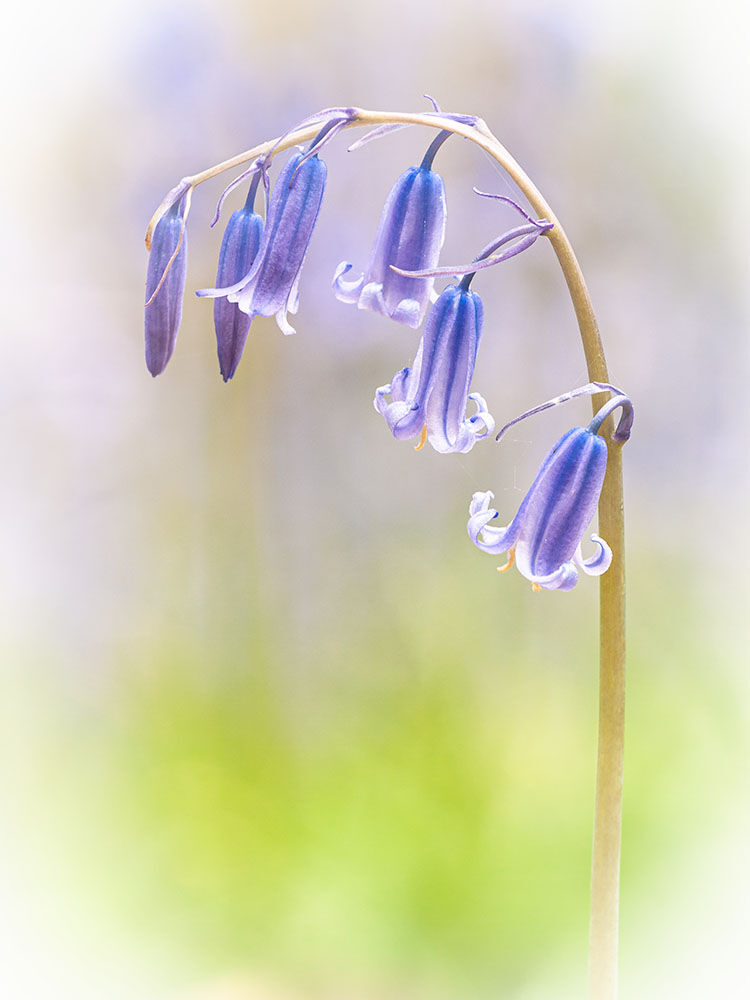 Just One Bluebell