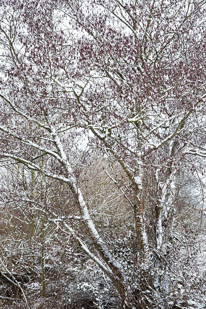 Winter Alder