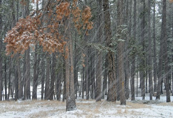 Blizzard in Pine Forest