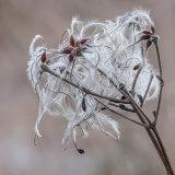 Winter Seed Head