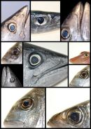 Fish Eyes1
