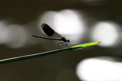 Backlit Male Banded Demoiselle (Calopteryx splendens) with River Reflections