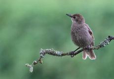 Juvenile Starling (Sturnus vulgaris)