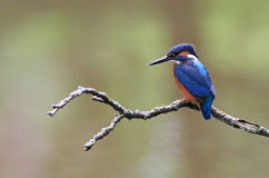 Male Kingfisher (Alcedo atthis)