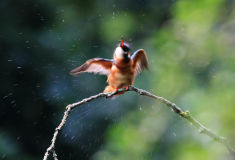 Female Kingfisher (Alcedo atthis)