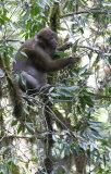 Assam macaque (Macaca assamensis)