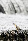 Grey Wagtail (Motacilla cinerea) 4
