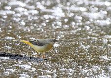 Grey Wagtail (Motacilla cinerea) 3