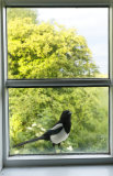 (Common) Magpie (Pica pica)