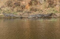 Indian Muggar Crocodile (Crocodylus palustris)