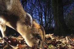 Female Muntjac deer (Muntiacus reevesi)