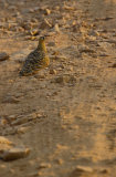 Painted Sand Grouse (Pterocles indicus)