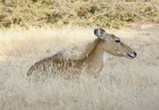 Indian Sambar Deer (Rusa unicolor)