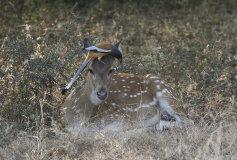 Spotted Deer (Chital) (Axis axis) and Rufous Treepie (Dendrocitta vagabunda)