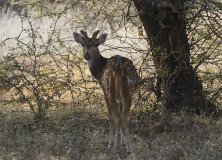 Spotted Deer (Chital) (Axis axis)