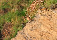 Adult Wheatear (Oenanthe oenanthe)