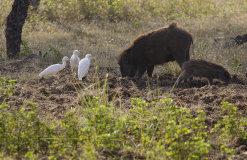 Indian Boar (Sus scrofa cristatus) and Cattle Egret (Bubulcus ibis)