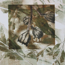 Angophora Gum Nuts, solar etching