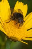bee pollinating yellow flowers