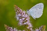 blue butterfly on buddlia