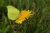 Brimstone in yellow