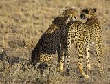 twin cheetahs planning their ambush