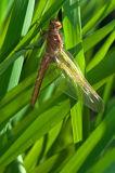 new dragonfly metamorphisis