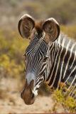 The Grévy's zebra (Equus grevyi),