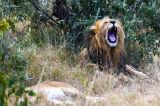 Lions on a kill