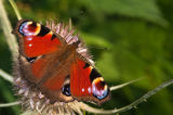 Inachis io or Peacock butterfly