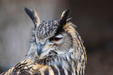 Bengalese rock eagle owl