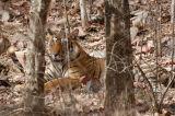 Panthera tigris bengal tiger sitting down