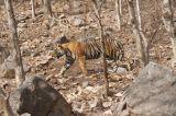 Panthera Tigris Bengal Tiger strutting