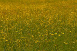 yellow mellow meadow
