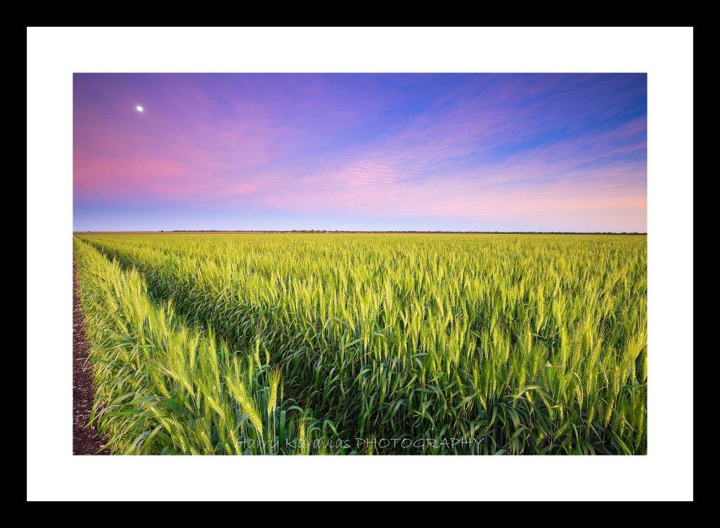 Moon Rise Wheat Fields, Emerald QLD