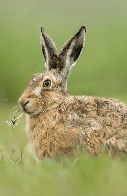 Hare Eats Dandilion