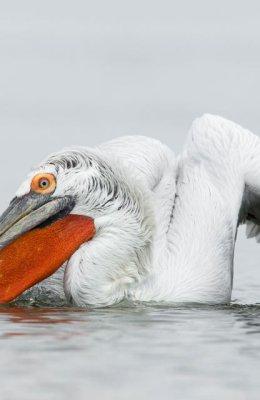 Pelican 7