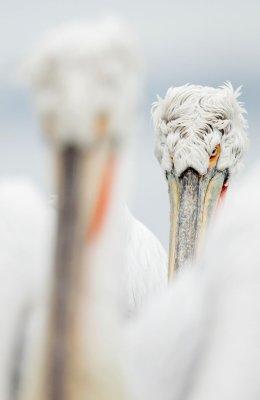 Pelican 8