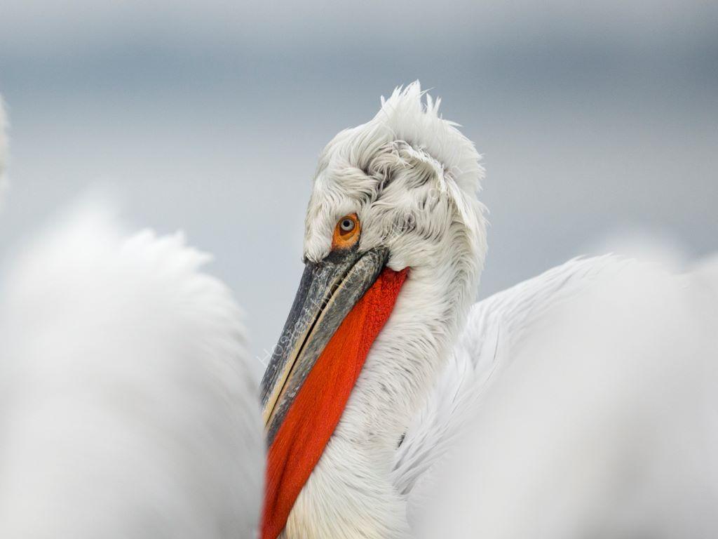 Pelican 9