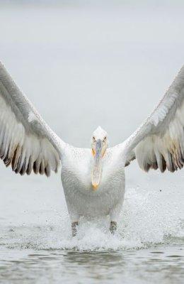 Pelican 10