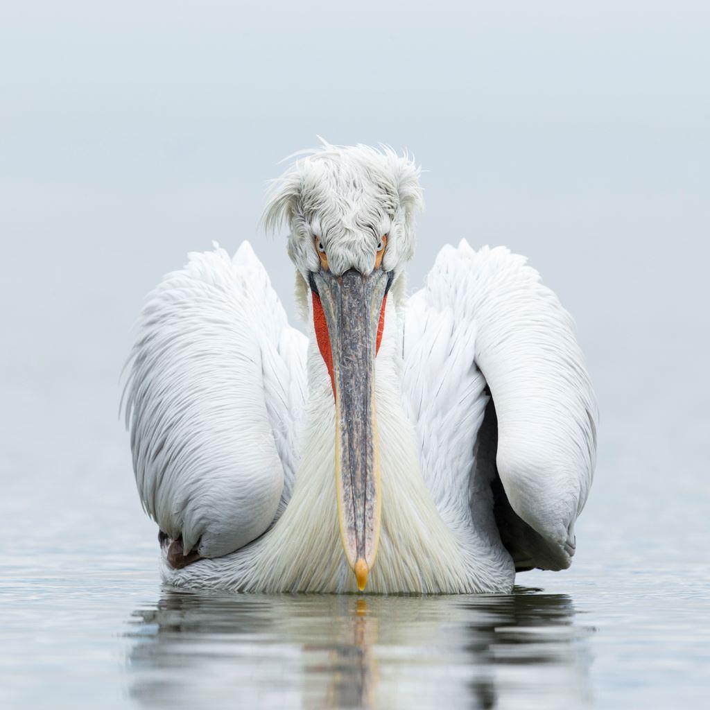 Pelican 11